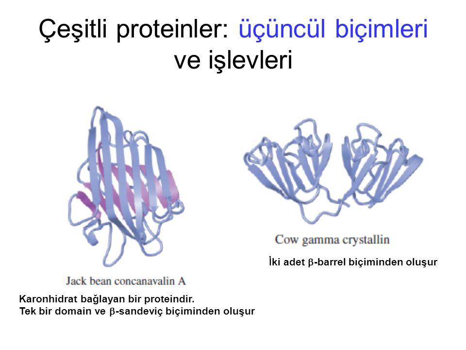 Çeşitli proteinler: üçüncül biçimleri ve işlevleri Karonhidrat bağlayan bir proteindir. Tek bir domain ve  -sandeviç biçiminden oluşur İki adet  -ba