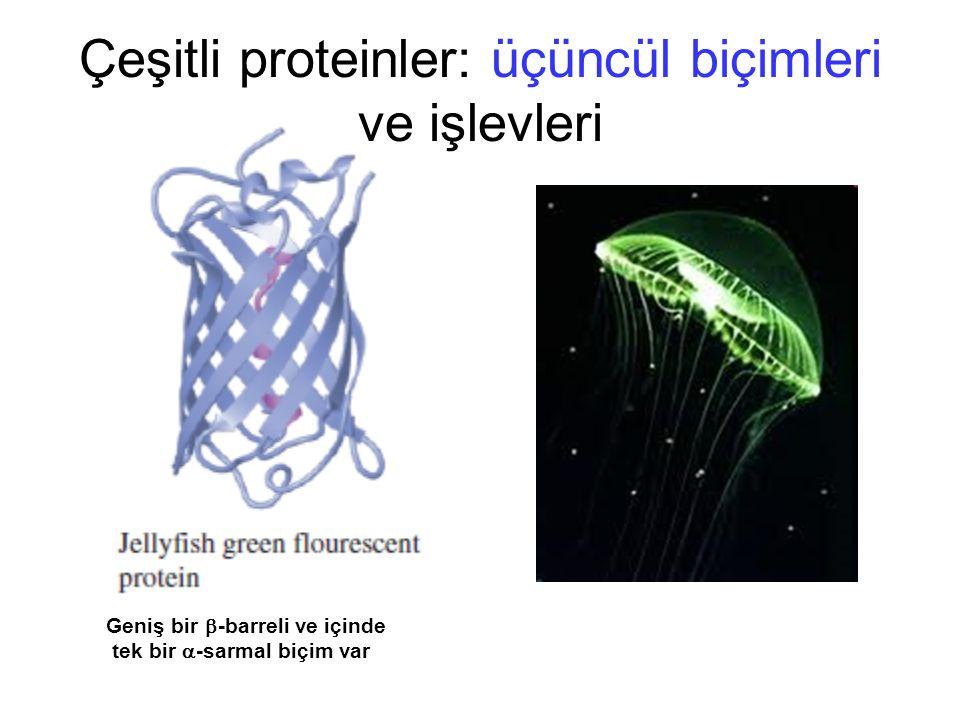Çeşitli proteinler: üçüncül biçimleri ve işlevleri Geniş bir  -barreli ve içinde tek bir  -sarmal biçim var