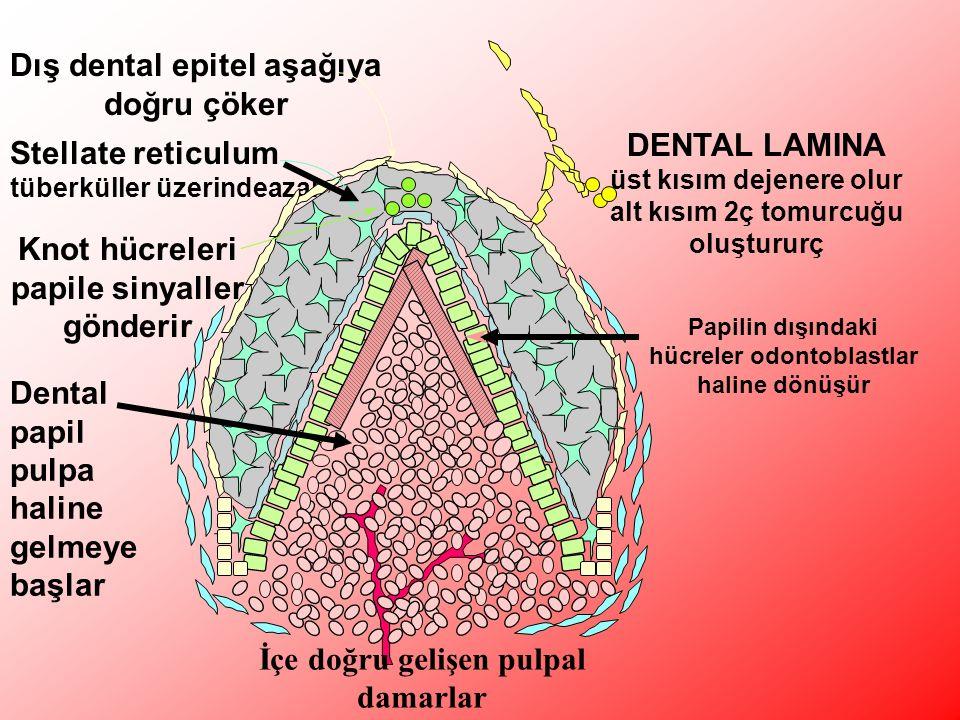 DENTAL LAMINA üst kısım dejenere olur alt kısım 2ç tomurcuğu oluştururç Dış dental epitel aşağıya doğru çöker Stellate reticulum tüberküller üzerindeazalı Dental papil pulpa haline gelmeye başlar Knot hücreleri papile sinyaller gönderir Papilin dışındaki hücreler odontoblastlar haline dönüşür İçe doğru gelişen pulpal damarlar