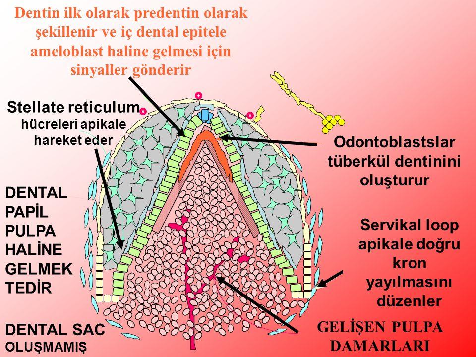 Stellate reticulum hücreleri apikale hareket eder DENTAL PAPİL PULPA HALİNE GELMEK TEDİR DENTAL SAC OLUŞMAMIŞ Odontoblastslar tüberkül dentinini oluşturur GELİŞEN PULPA DAMARLARI Dentin ilk olarak predentin olarak şekillenir ve iç dental epitele ameloblast haline gelmesi için sinyaller gönderir Servikal loop apikale doğru kron yayılmasını düzenler