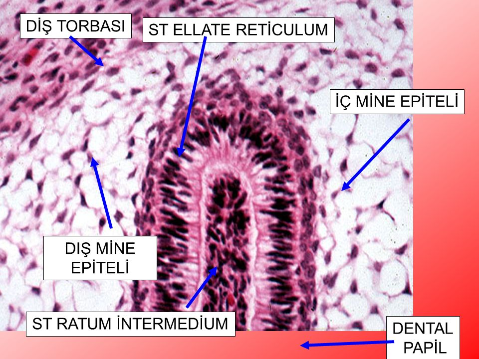 Higher power of image 31. The layers of the tooth germ are shown as they appear at the top of the bell. H&E, 200x DİŞ TORBASI ST ELLATE RETİCULUM DIŞ