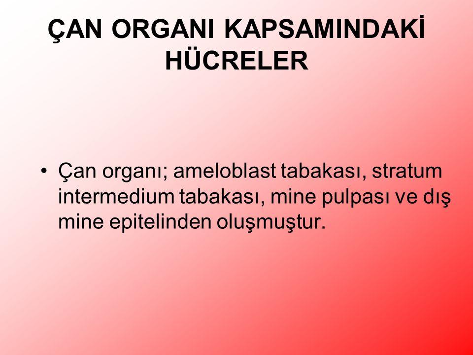 ÇAN ORGANI KAPSAMINDAKİ HÜCRELER Çan organı; ameloblast tabakası, stratum intermedium tabakası, mine pulpası ve dış mine epitelinden oluşmuştur.