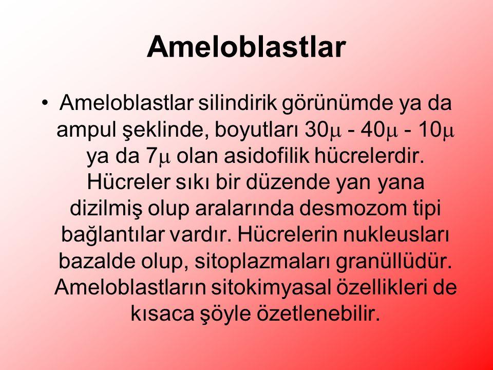 Ameloblastlar Ameloblastlar silindirik görünümde ya da ampul şeklinde, boyutları 30  - 40  - 10  ya da 7  olan asidofilik hücrelerdir.