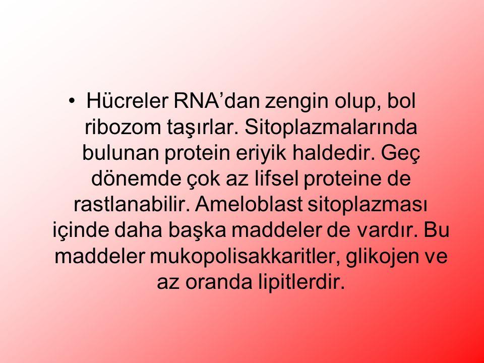 Hücreler RNA'dan zengin olup, bol ribozom taşırlar.