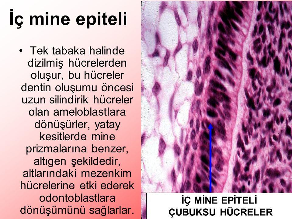 İç mine epiteli Tek tabaka halinde dizilmiş hücrelerden oluşur, bu hücreler dentin oluşumu öncesi uzun silindirik hücreler olan ameloblastlara dönüşürler, yatay kesitlerde mine prizmalarına benzer, altıgen şekildedir, altlarındaki mezenkim hücrelerine etki ederek odontoblastlara dönüşümünü sağlarlar.