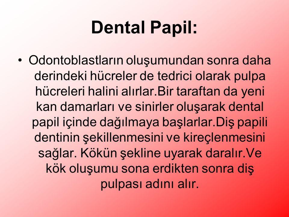 Dental Papil: Odontoblastların oluşumundan sonra daha derindeki hücreler de tedrici olarak pulpa hücreleri halini alırlar.Bir taraftan da yeni kan damarları ve sinirler oluşarak dental papil içinde dağılmaya başlarlar.Diş papili dentinin şekillenmesini ve kireçlenmesini sağlar.