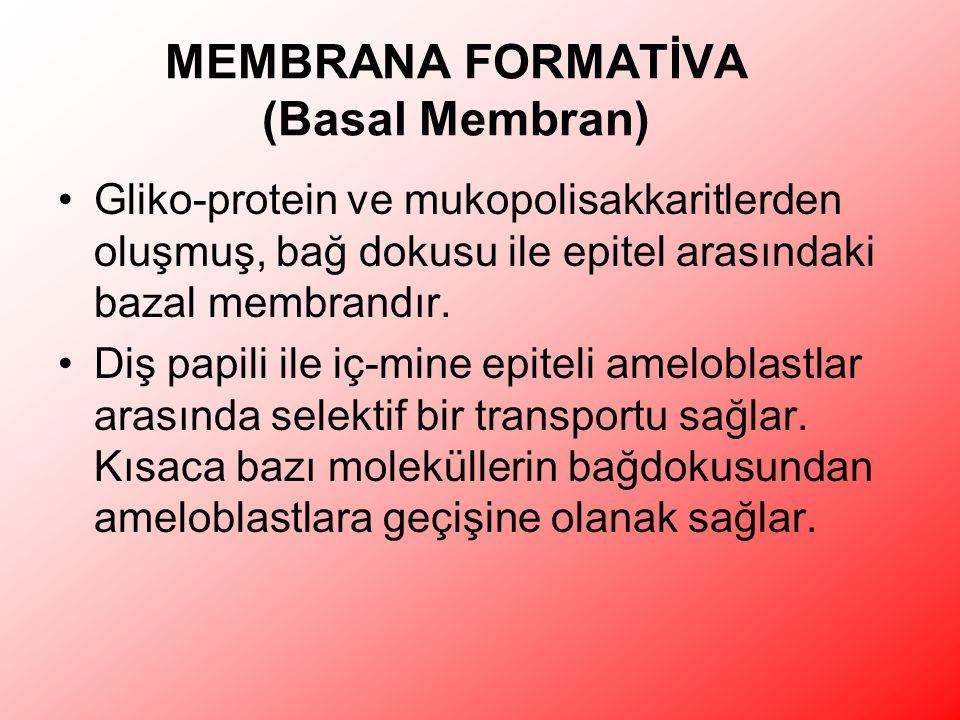 MEMBRANA FORMATİVA (Basal Membran) Gliko-protein ve mukopolisakkaritlerden oluşmuş, bağ dokusu ile epitel arasındaki bazal membrandır.