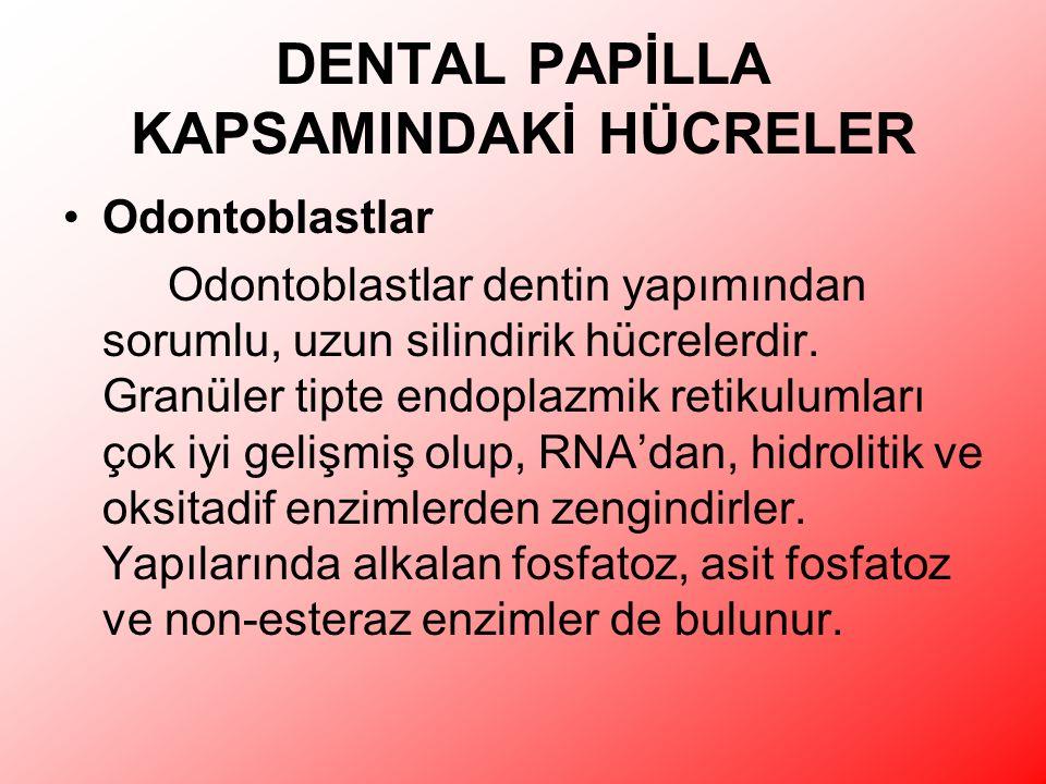 DENTAL PAPİLLA KAPSAMINDAKİ HÜCRELER Odontoblastlar Odontoblastlar dentin yapımından sorumlu, uzun silindirik hücrelerdir.