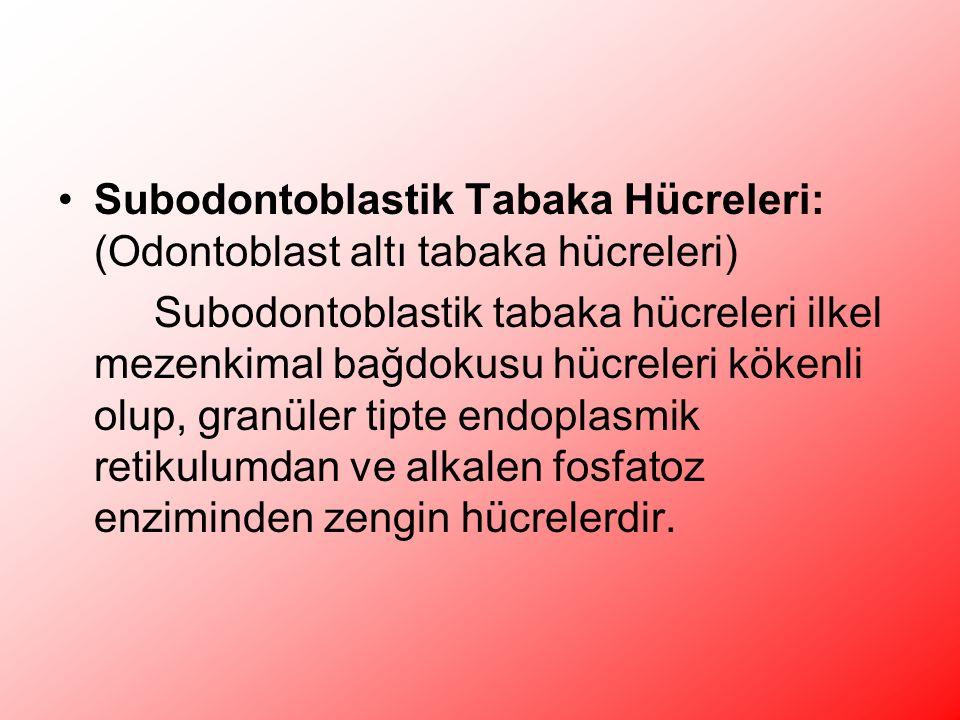 Subodontoblastik Tabaka Hücreleri: (Odontoblast altı tabaka hücreleri) Subodontoblastik tabaka hücreleri ilkel mezenkimal bağdokusu hücreleri kökenli olup, granüler tipte endoplasmik retikulumdan ve alkalen fosfatoz enziminden zengin hücrelerdir.