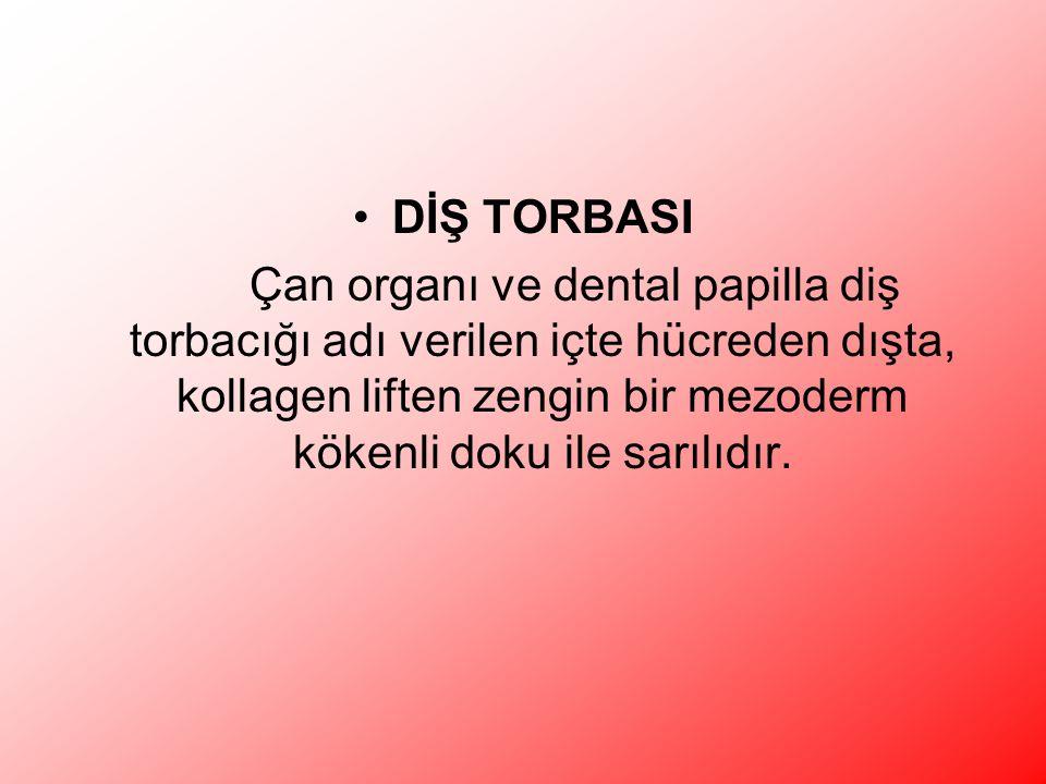 DİŞ TORBASI Çan organı ve dental papilla diş torbacığı adı verilen içte hücreden dışta, kollagen liften zengin bir mezoderm kökenli doku ile sarılıdır.