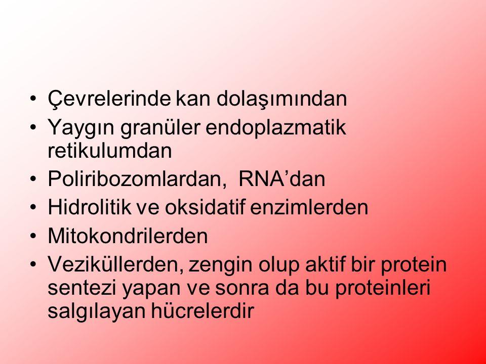 Çevrelerinde kan dolaşımından Yaygın granüler endoplazmatik retikulumdan Poliribozomlardan, RNA'dan Hidrolitik ve oksidatif enzimlerden Mitokondrilerden Veziküllerden, zengin olup aktif bir protein sentezi yapan ve sonra da bu proteinleri salgılayan hücrelerdir