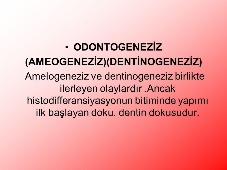 ODONTOGENEZİZ (AMEOGENEZİZ)(DENTİNOGENEZİZ) Amelogeneziz ve dentinogeneziz birlikte ilerleyen olaylardır.Ancak histodifferansiyasyonun bitiminde yapımı ilk başlayan doku, dentin dokusudur.