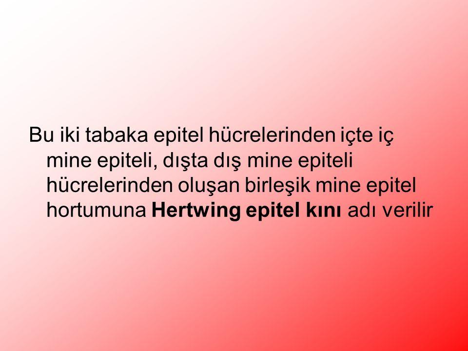 Bu iki tabaka epitel hücrelerinden içte iç mine epiteli, dışta dış mine epiteli hücrelerinden oluşan birleşik mine epitel hortumuna Hertwing epitel kını adı verilir
