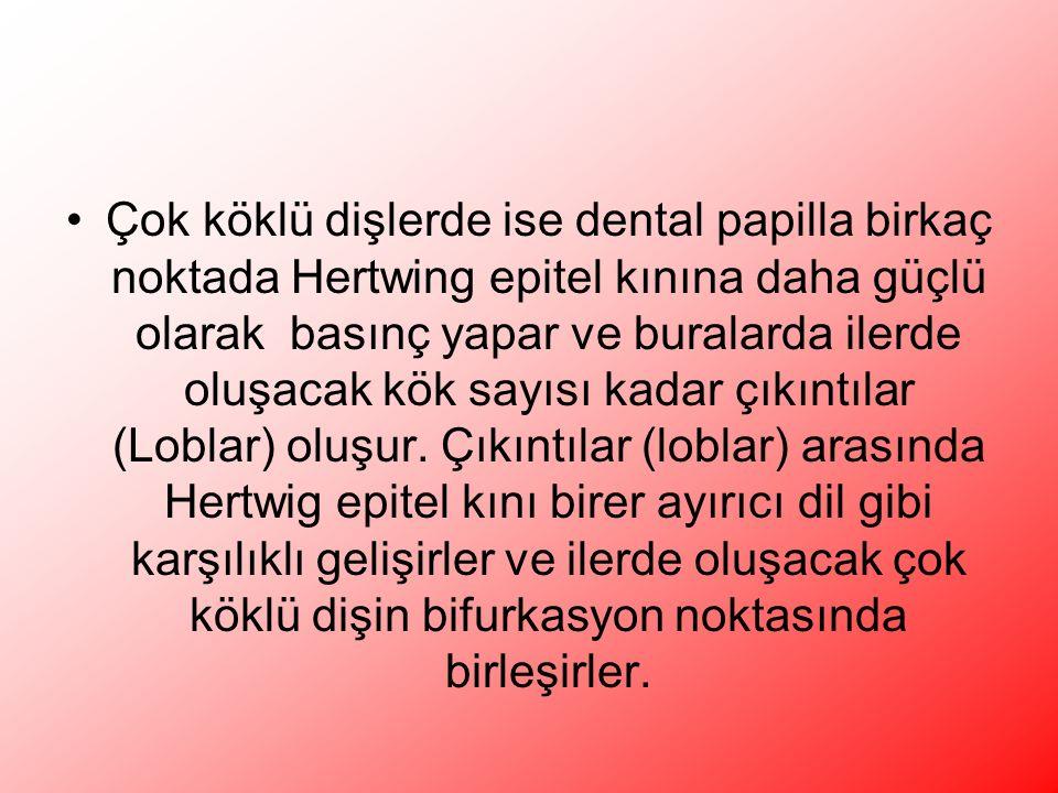Çok köklü dişlerde ise dental papilla birkaç noktada Hertwing epitel kınına daha güçlü olarak basınç yapar ve buralarda ilerde oluşacak kök sayısı kadar çıkıntılar (Loblar) oluşur.