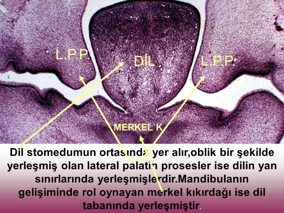 Dil stomedumun ortasında yer alır,oblik bir şekilde yerleşmiş olan lateral palatin prosesler ise dilin yan sınırlarında yerleşmişlerdir.Mandibulanın gelişiminde rol oynayan merkel kıkırdağı ise dil tabanında yerleşmiştir.