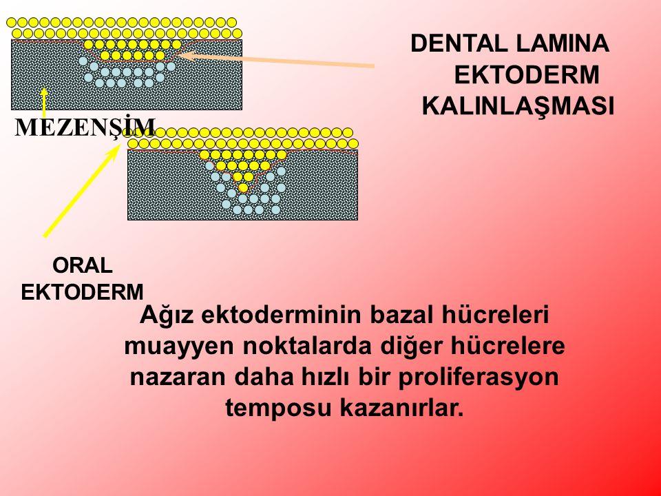 EKTODERM KALINLAŞMASI DENTAL LAMINA ORAL EKTODERM MEZENŞİM Ağız ektoderminin bazal hücreleri muayyen noktalarda diğer hücrelere nazaran daha hızlı bir proliferasyon temposu kazanırlar.