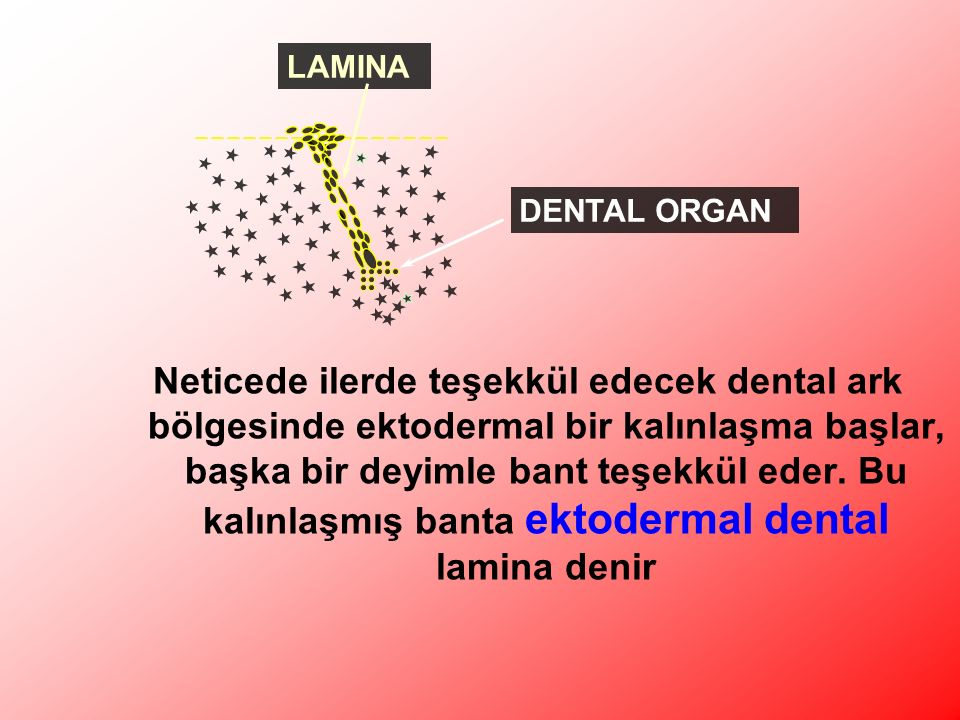 Neticede ilerde teşekkül edecek dental ark bölgesinde ektodermal bir kalınlaşma başlar, başka bir deyimle bant teşekkül eder.