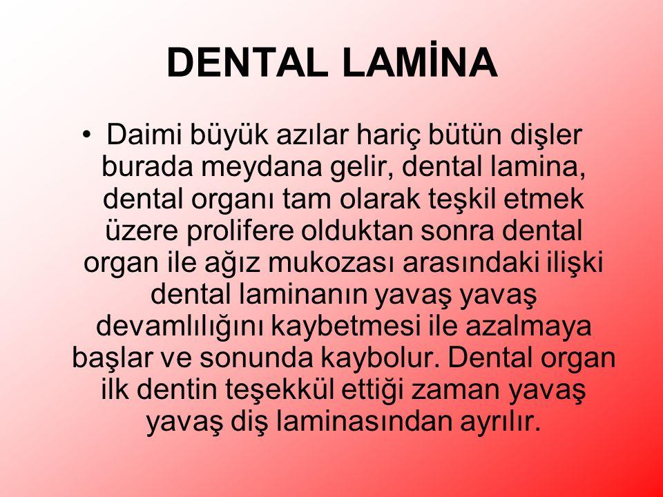 DENTAL LAMİNA Daimi büyük azılar hariç bütün dişler burada meydana gelir, dental lamina, dental organı tam olarak teşkil etmek üzere prolifere olduktan sonra dental organ ile ağız mukozası arasındaki ilişki dental laminanın yavaş yavaş devamlılığını kaybetmesi ile azalmaya başlar ve sonunda kaybolur.