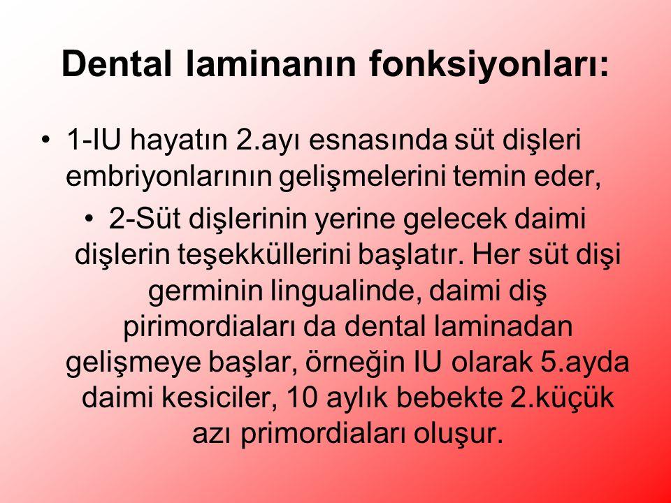 Dental laminanın fonksiyonları: 1-IU hayatın 2.ayı esnasında süt dişleri embriyonlarının gelişmelerini temin eder, 2-Süt dişlerinin yerine gelecek daimi dişlerin teşekküllerini başlatır.