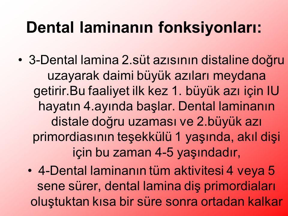 Dental laminanın fonksiyonları: 3-Dental lamina 2.süt azısının distaline doğru uzayarak daimi büyük azıları meydana getirir.Bu faaliyet ilk kez 1.