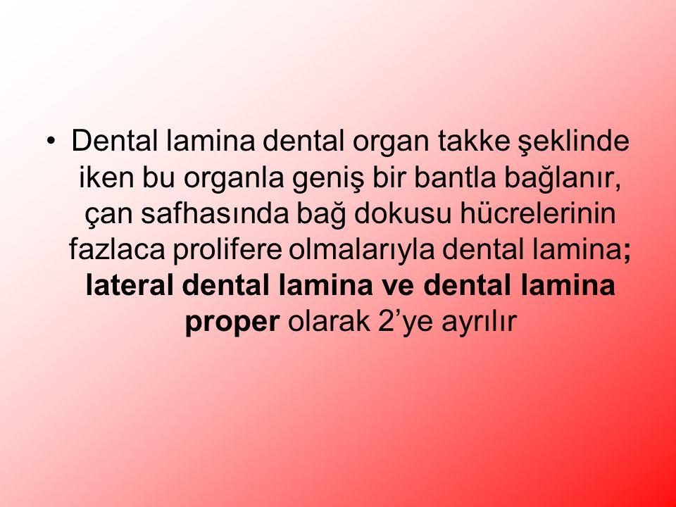 Dental lamina dental organ takke şeklinde iken bu organla geniş bir bantla bağlanır, çan safhasında bağ dokusu hücrelerinin fazlaca prolifere olmalarıyla dental lamina; lateral dental lamina ve dental lamina proper olarak 2'ye ayrılır