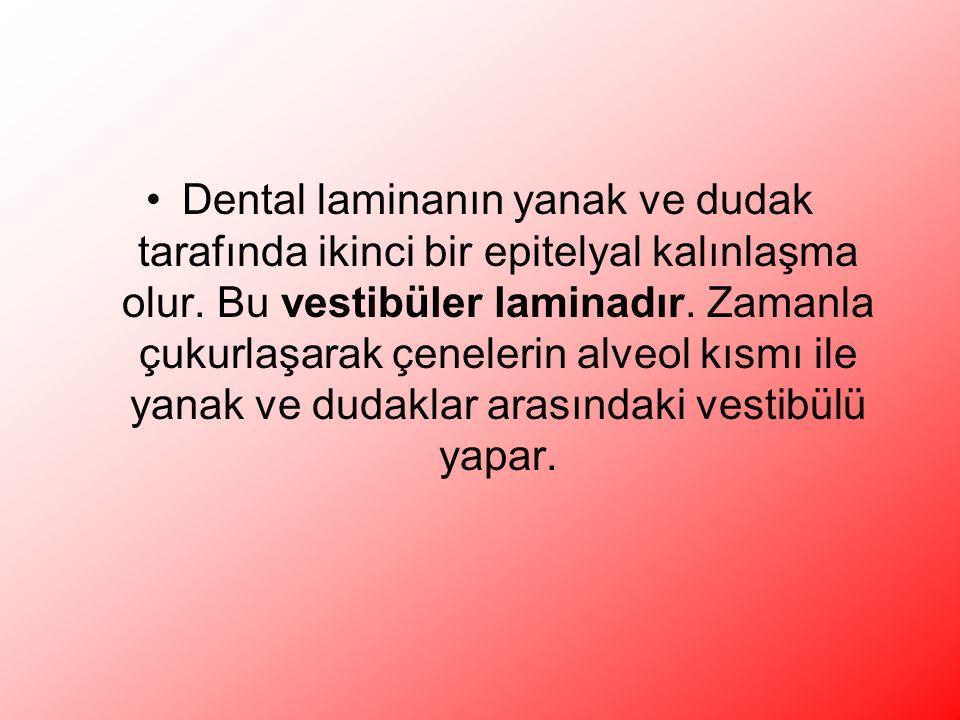 Dental laminanın yanak ve dudak tarafında ikinci bir epitelyal kalınlaşma olur.