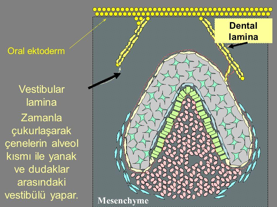 Oral ektoderm Vestibular lamina Zamanla çukurlaşarak çenelerin alveol kısmı ile yanak ve dudaklar arasındaki vestibülü yapar.