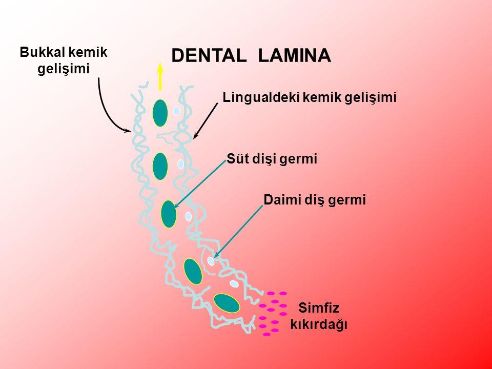 Lingualdeki kemik gelişimi Bukkal kemik gelişimi Simfiz kıkırdağı Süt dişi germi Daimi diş germi DENTAL LAMINA