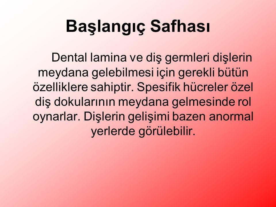 Başlangıç Safhası Dental lamina ve diş germleri dişlerin meydana gelebilmesi için gerekli bütün özelliklere sahiptir.
