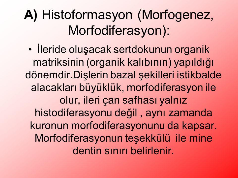 A) Histoformasyon (Morfogenez, Morfodiferasyon): İleride oluşacak sertdokunun organik matriksinin (organik kalıbının) yapıldığı dönemdir.Dişlerin bazal şekilleri istikbalde alacakları büyüklük, morfodiferasyon ile olur, ileri çan safhası yalnız histodiferasyonu değil, aynı zamanda kuronun morfodiferasyonunu da kapsar.