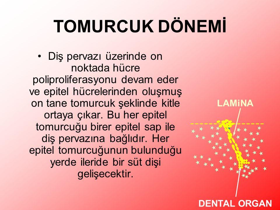TOMURCUK DÖNEMİ Diş pervazı üzerinde on noktada hücre poliproliferasyonu devam eder ve epitel hücrelerinden oluşmuş on tane tomurcuk şeklinde kitle ortaya çıkar.