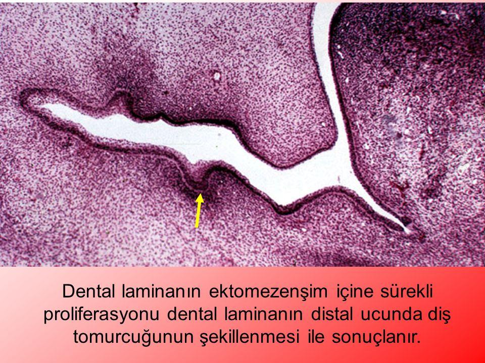 Dental laminanın ektomezenşim içine sürekli proliferasyonu dental laminanın distal ucunda diş tomurcuğunun şekillenmesi ile sonuçlanır.