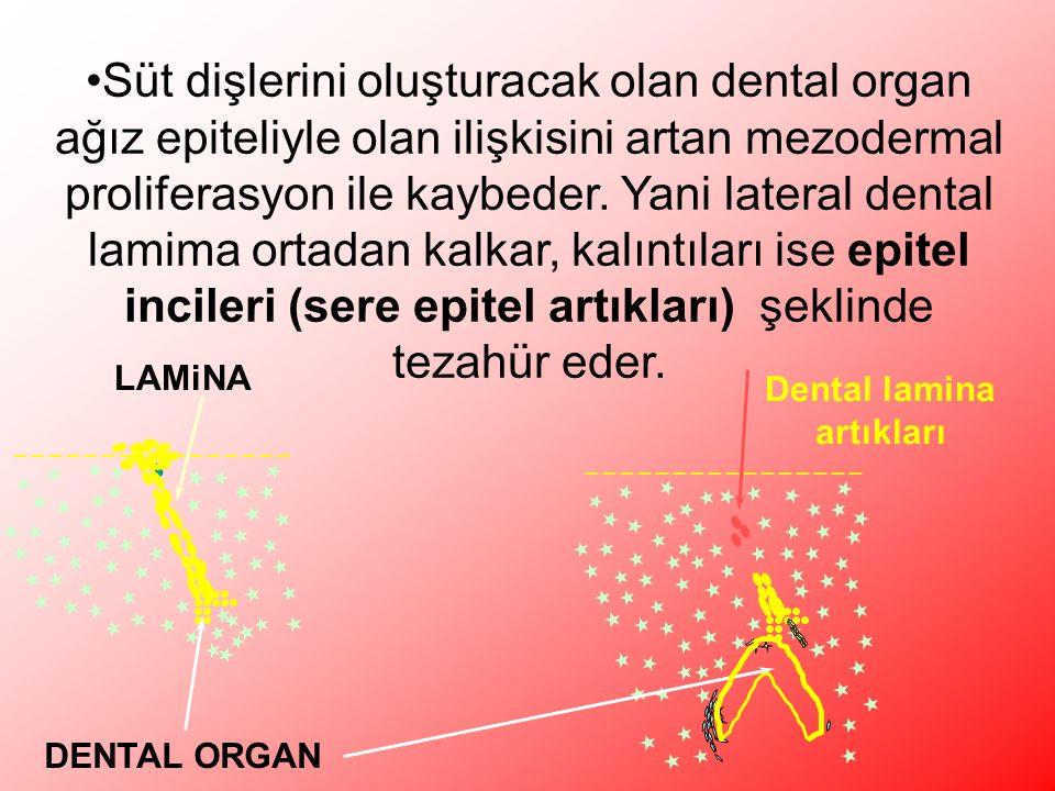 Süt dişlerini oluşturacak olan dental organ ağız epiteliyle olan ilişkisini artan mezodermal proliferasyon ile kaybeder.