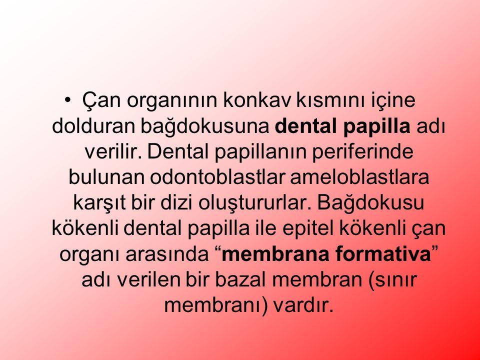 Çan organının konkav kısmını içine dolduran bağdokusuna dental papilla adı verilir.