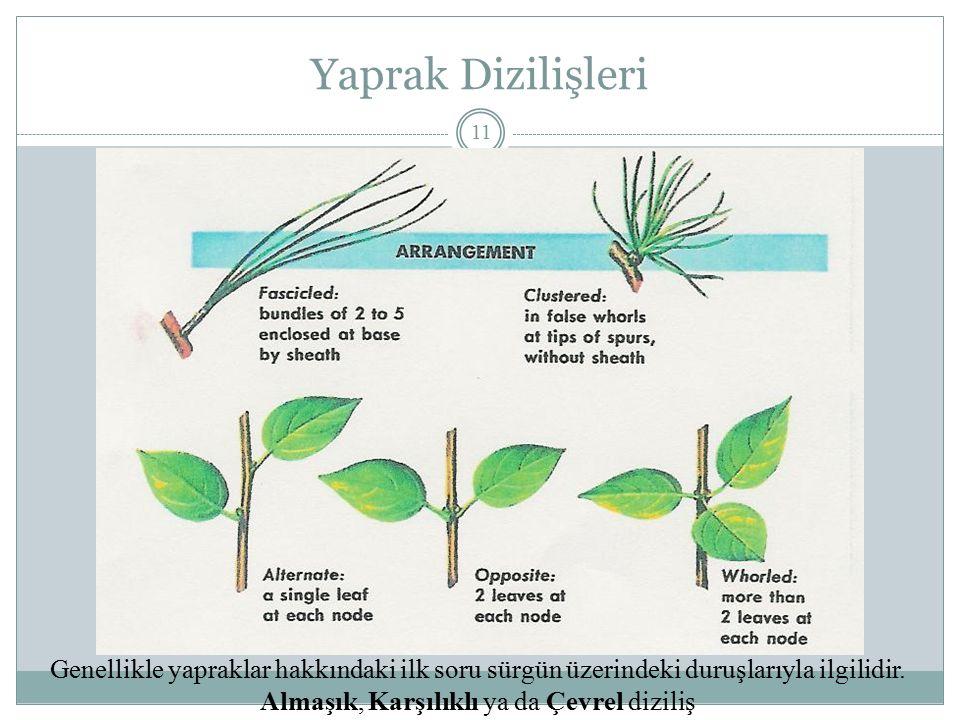 Yaprak Dizilişleri 11 Genellikle yapraklar hakkındaki ilk soru sürgün üzerindeki duruşlarıyla ilgilidir. Almaşık, Karşılıklı ya da Çevrel diziliş