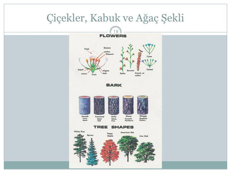 Çiçekler, Kabuk ve Ağaç Şekli 18