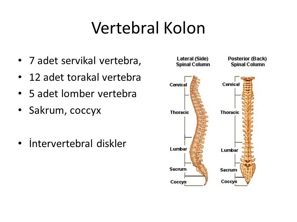 Vertebral Kolon 7 adet servikal vertebra, 12 adet torakal vertebra 5 adet lomber vertebra Sakrum, coccyx İntervertebral diskler