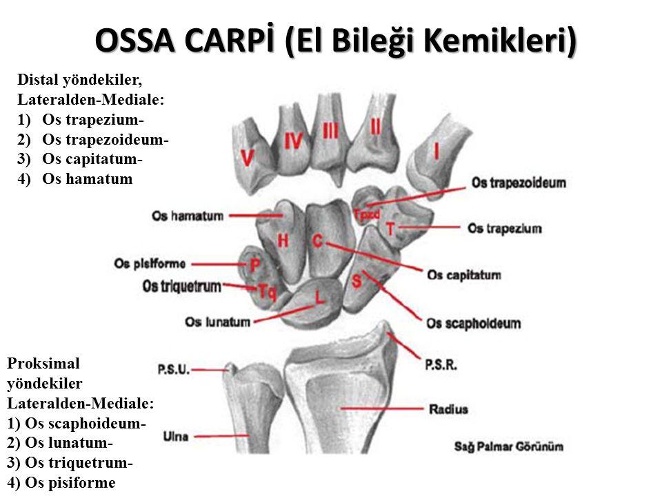 OSSA CARPİ (El Bileği Kemikleri) Proksimal yöndekiler Lateralden-Mediale: 1) Os scaphoideum- 2) Os lunatum- 3) Os triquetrum- 4) Os pisiforme Distal yöndekiler, Lateralden-Mediale: 1)Os trapezium- 2)Os trapezoideum- 3)Os capitatum- 4)Os hamatum