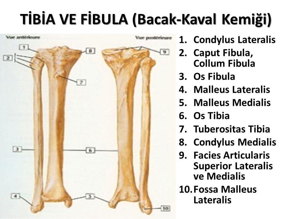 TİBİA VE FİBULA (Bacak-Kaval Kemiği) 1.Condylus Lateralis 2.Caput Fibula, Collum Fibula 3.Os Fibula 4.Malleus Lateralis 5.Malleus Medialis 6.Os Tibia 7.Tuberositas Tibia 8.Condylus Medialis 9.Facies Articularis Superior Lateralis ve Medialis 10.Fossa Malleus Lateralis