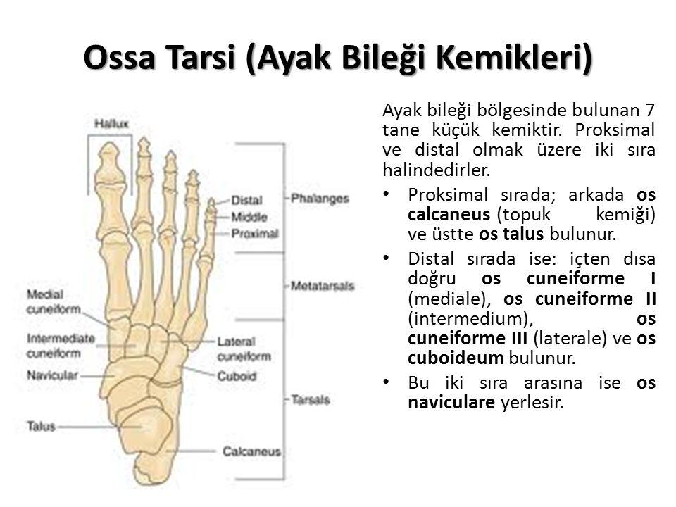 Ossa Tarsi (Ayak Bileği Kemikleri) Ayak bileği bölgesinde bulunan 7 tane küçük kemiktir. Proksimal ve distal olmak üzere iki sıra halindedirler. Proks