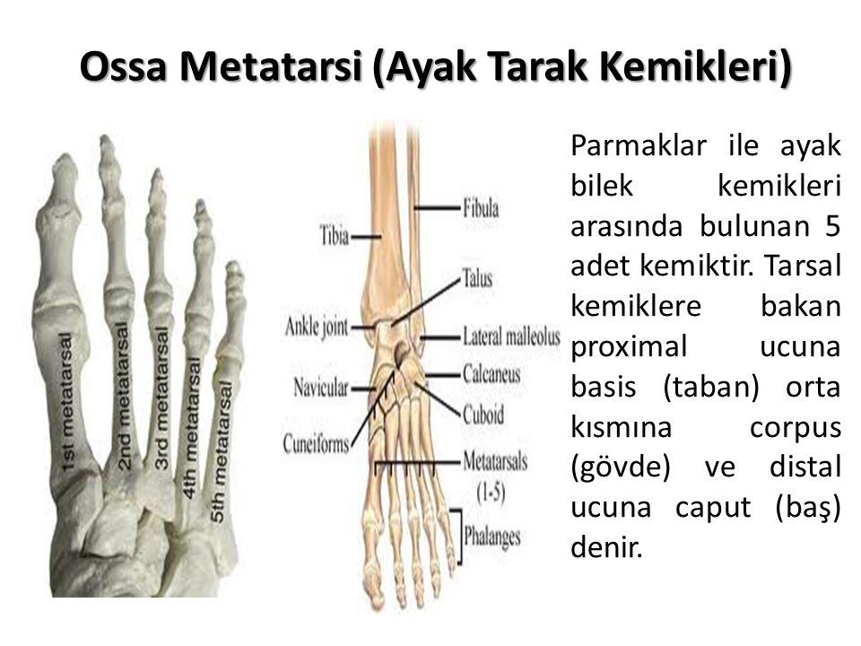 Ossa Metatarsi (Ayak Tarak Kemikleri) Parmaklar ile ayak bilek kemikleri arasında bulunan 5 adet kemiktir. Tarsal kemiklere bakan proximal ucuna basis