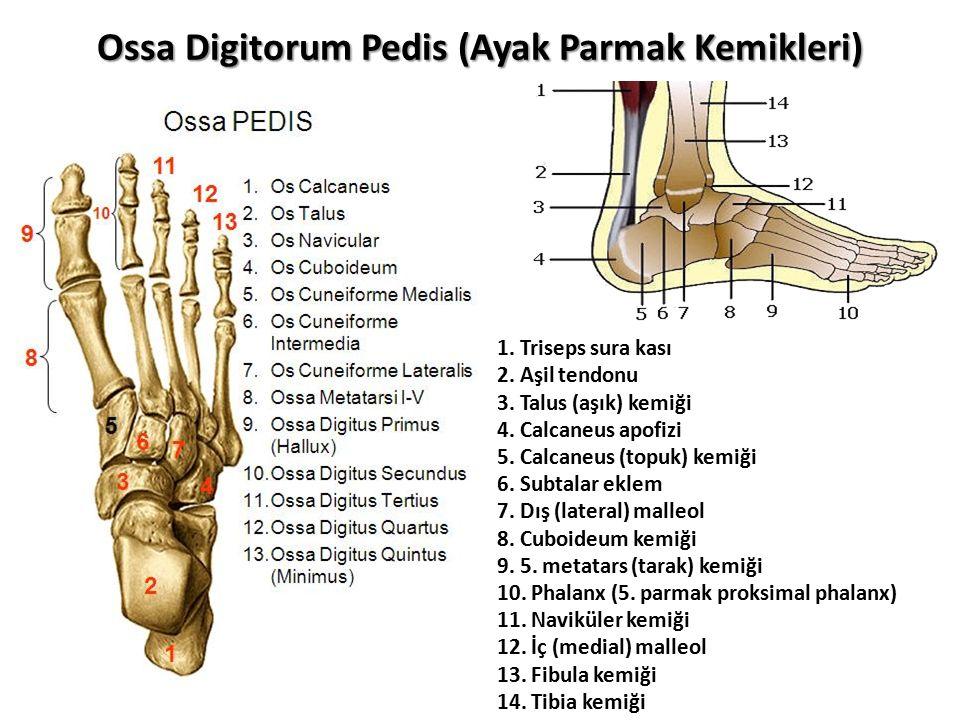 Ossa Digitorum Pedis (Ayak Parmak Kemikleri) 1.Triseps sura kası 2.