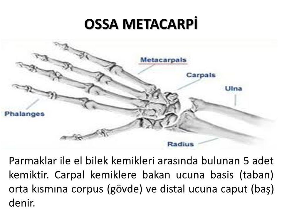 OSSA METACARPİ Parmaklar ile el bilek kemikleri arasında bulunan 5 adet kemiktir. Carpal kemiklere bakan ucuna basis (taban) orta kısmına corpus (gövd