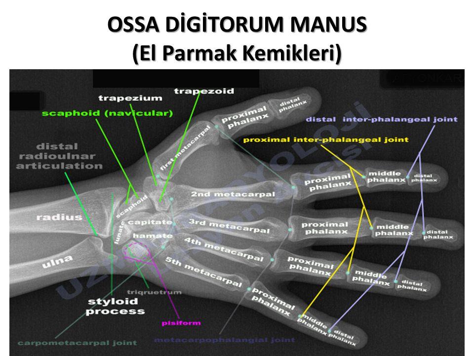 OSSA DİGİTORUM MANUS (El Parmak Kemikleri)