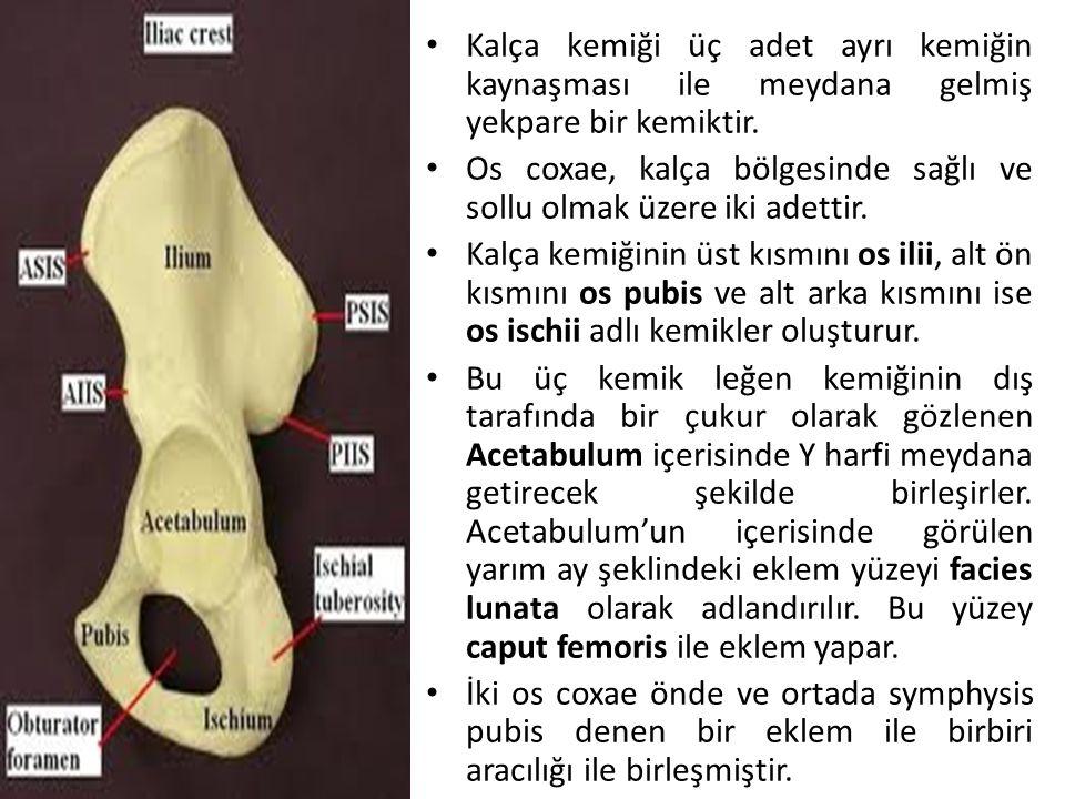 PELVİS (Leğen Kemiği) *Yanlarda iki adet os coxae ile arkada os sacrum (sağrı kemiği) ve os coccygis (kuyruk sokumu kemiği) olmak üzere dört ayrı kemik birleşerek kemik bir kanal seklindeki pelvis'i oluştururlar.