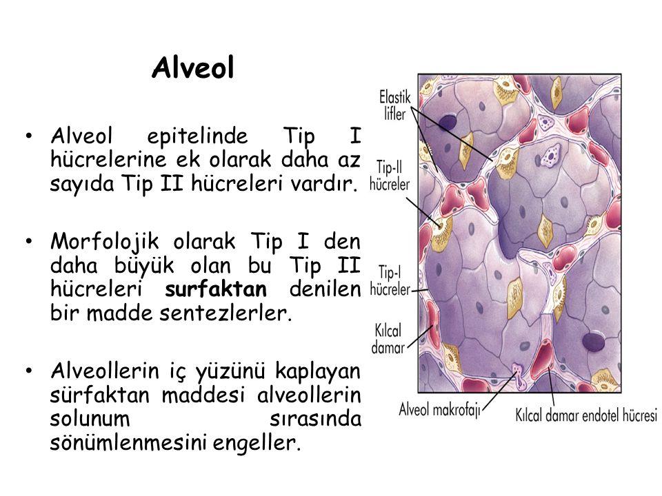 Alveol Alveol epitelinde Tip I hücrelerine ek olarak daha az sayıda Tip II hücreleri vardır. Morfolojik olarak Tip I den daha büyük olan bu Tip II hüc