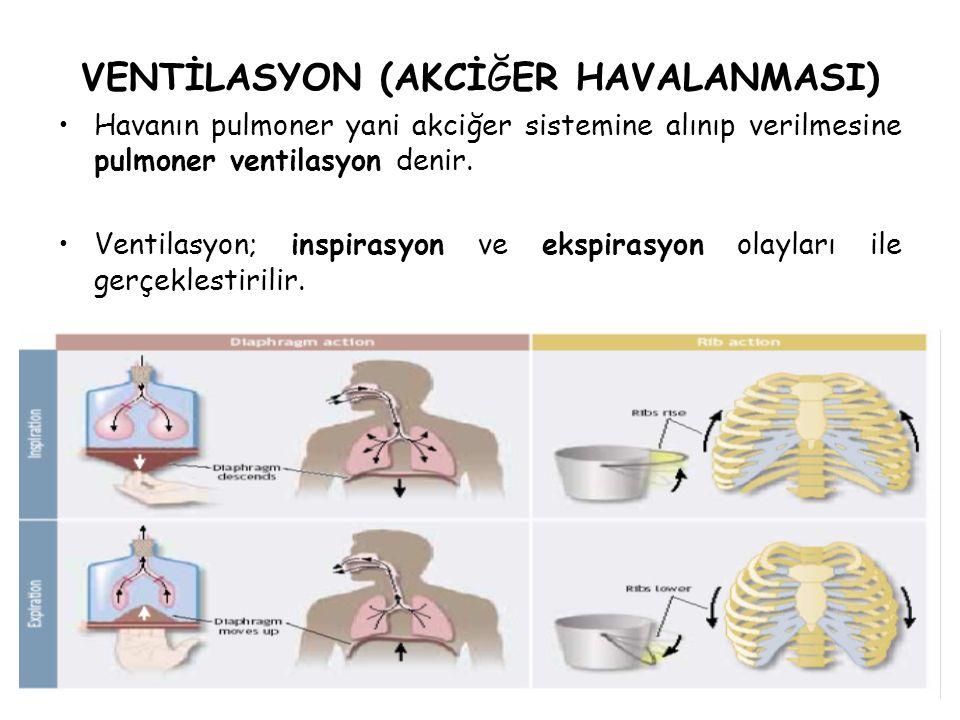 VENTİLASYON (AKCİĞER HAVALANMASI) Havanın pulmoner yani akciğer sistemine alınıp verilmesine pulmoner ventilasyon denir. Ventilasyon; inspirasyon ve e