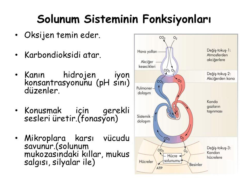 Solunum Sisteminin Fonksiyonları Oksijen temin eder. Karbondioksidi atar. Kanın hidrojen iyon konsantrasyonunu (pH sını) düzenler. Konusmak için gerek