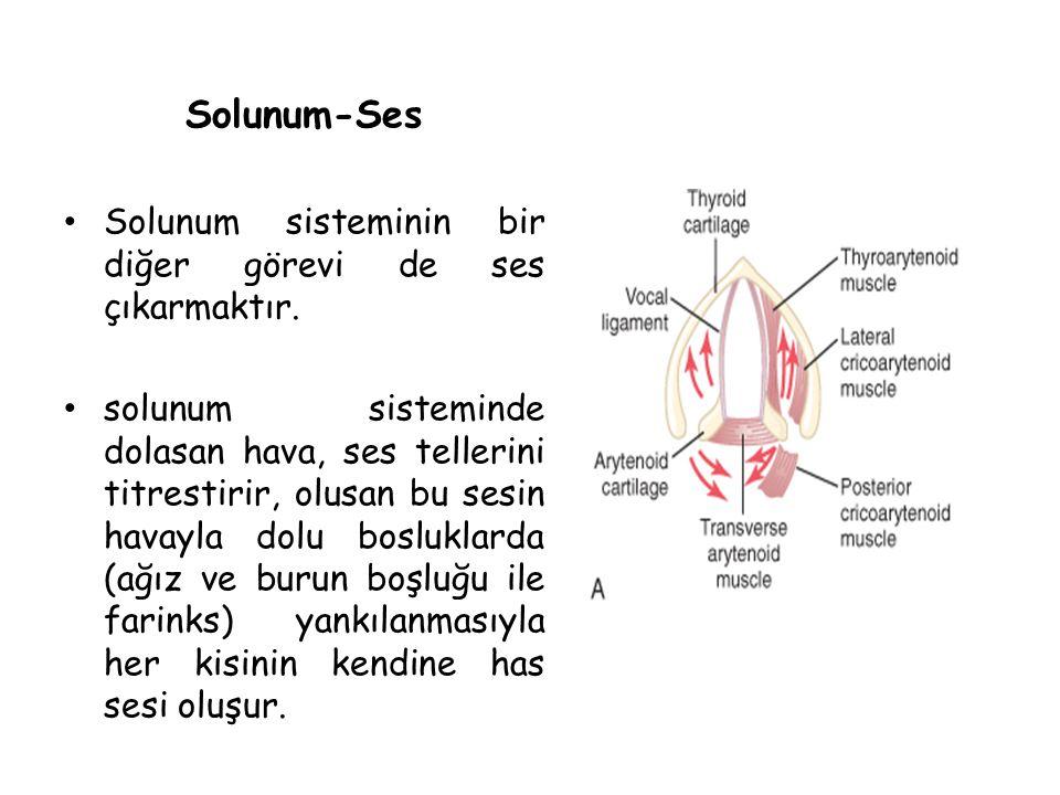 Solunum-Ses Solunum sisteminin bir diğer görevi de ses çıkarmaktır. solunum sisteminde dolasan hava, ses tellerini titrestirir, olusan bu sesin havayl