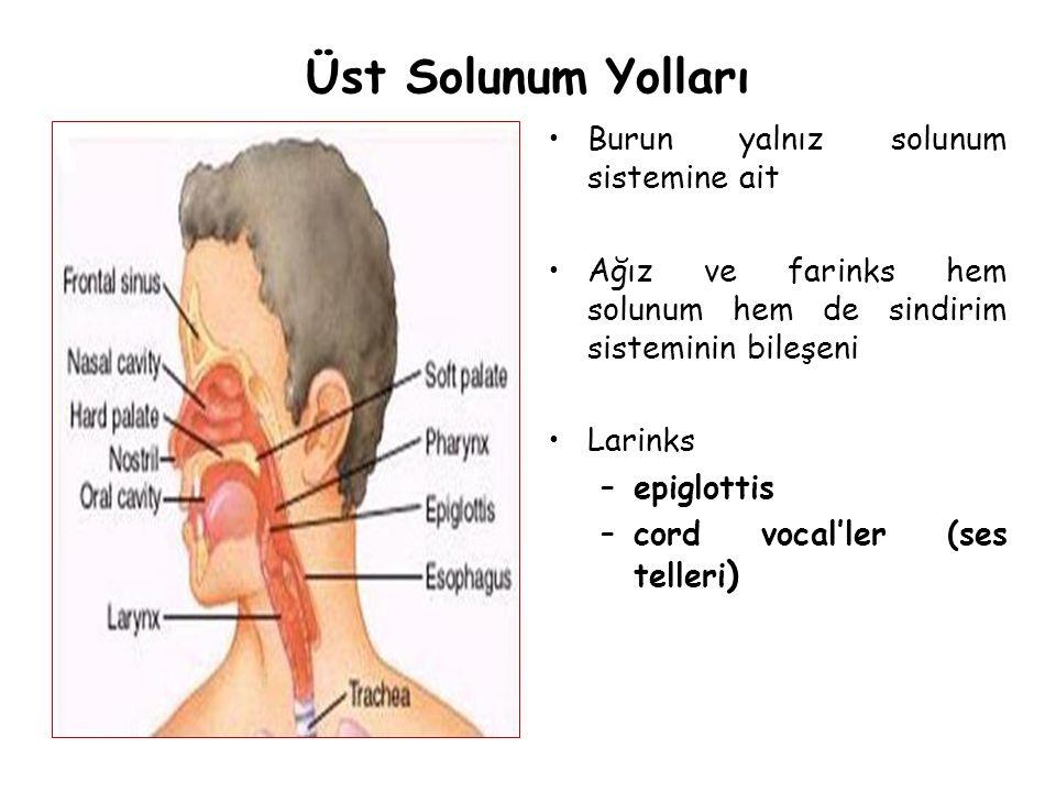 Üst Solunum Yolları Burun yalnız solunum sistemine ait Ağız ve farinks hem solunum hem de sindirim sisteminin bileşeni Larinks –epiglottis –cord vocal